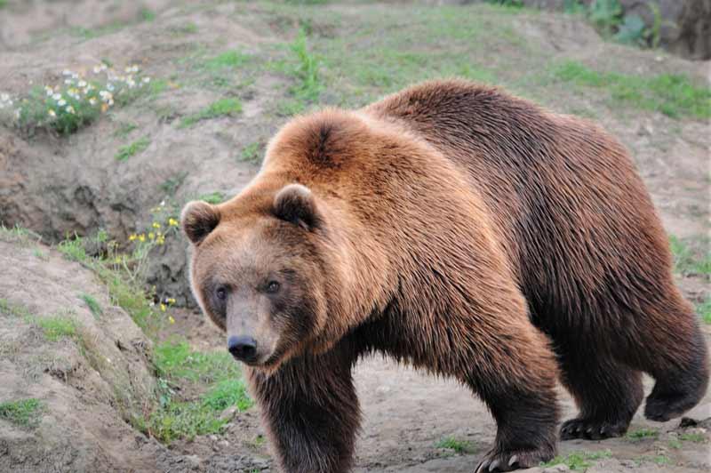 oso pardo de california